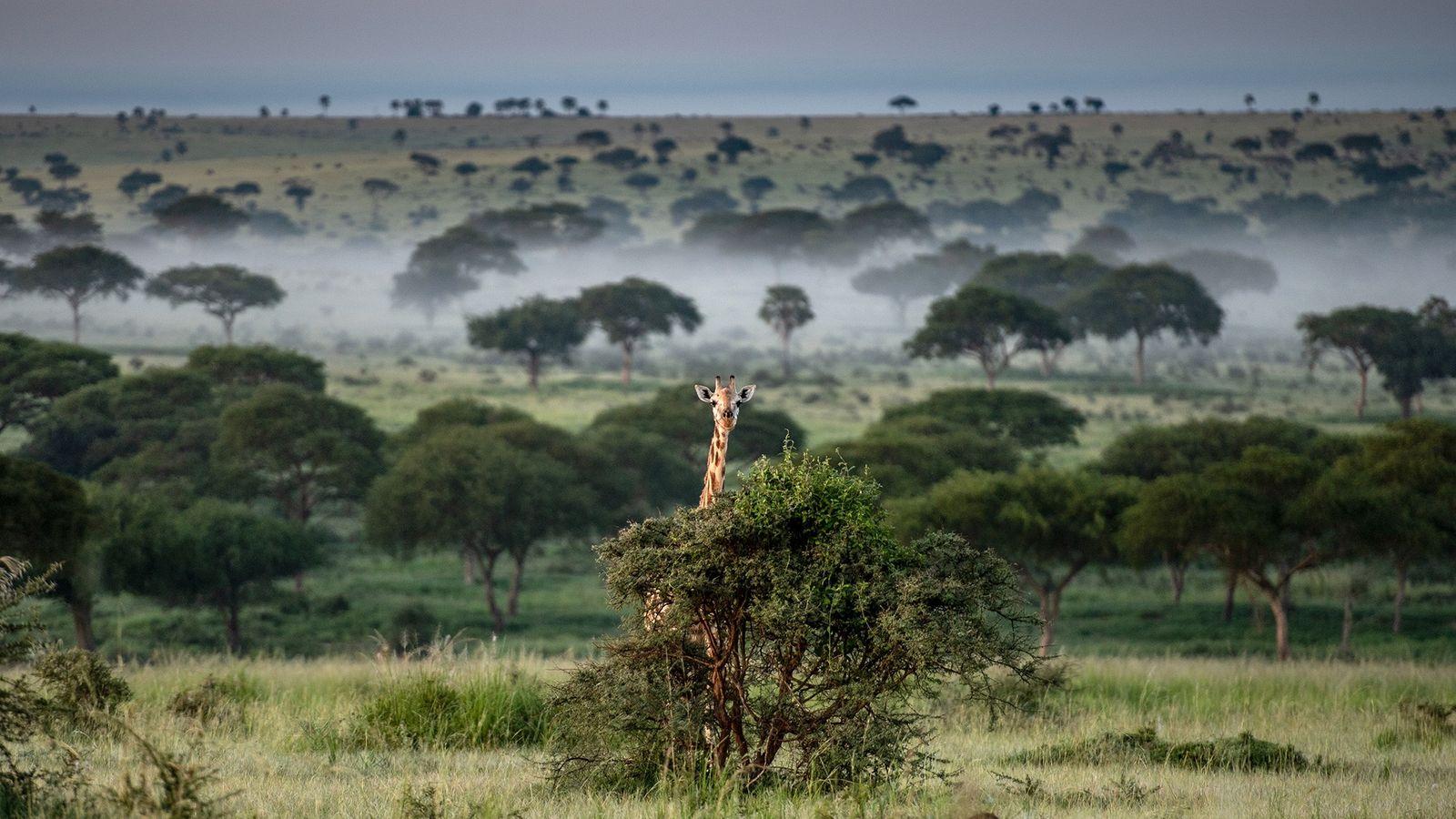 Le parc national des chutes de Murchison est une place forte pour les dernières girafes d'Ouganda. ...