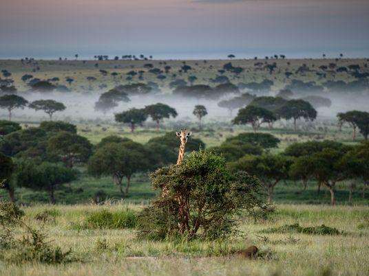 Ouganda : alors que la pandémie s'installe, les braconniers font rage