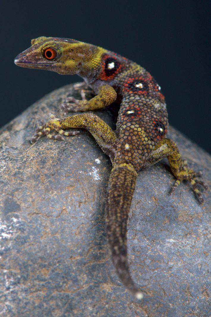 Les geckos ne vivent que dans une petite parcelle de forêt sur l'île d'Union. Des patrouilles ...