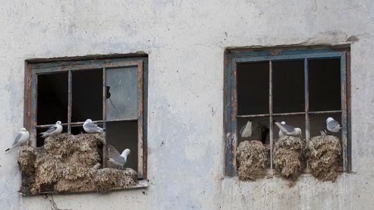 """En Norvège, les """"hôtels à mouettes"""" deviennent le refuge des oiseaux menacés"""