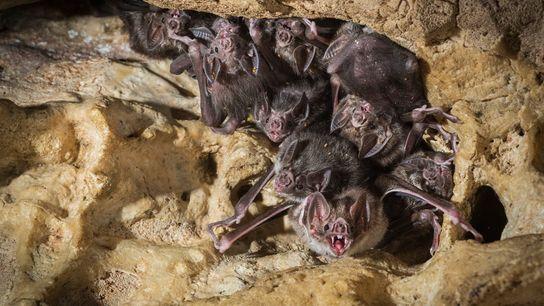 Des chauves-souris vampires, de l'espèce Desmodus rotundus, s'abritent dans une cave au Costa Rica.