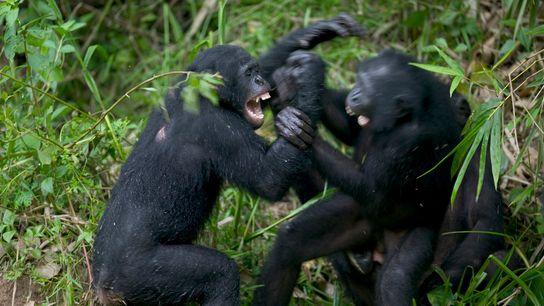 Querelle de bonobos dans un refuge de République démocratique du Congo.
