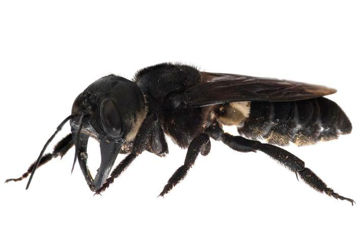 L'abeille géante de Wallace est extrêmement rare, menacée par les collectionneurs et ne présente aucun danger ...