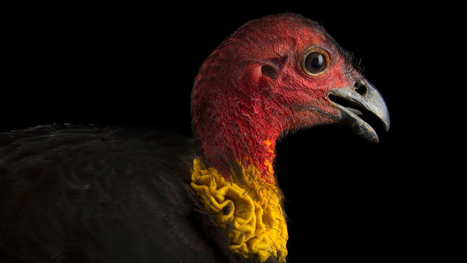 Un talégalle de Latham (Alectura lathami), l'une des espèces d'oiseaux de la famille des mégapodes, au ...