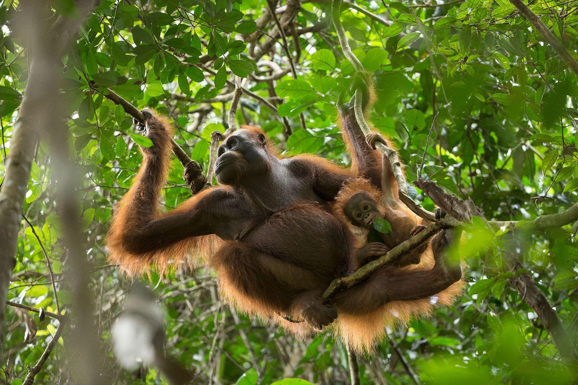 Ce petit orang-outan de Bornéo âgé de 11 mois ne quitte pas sa mère.