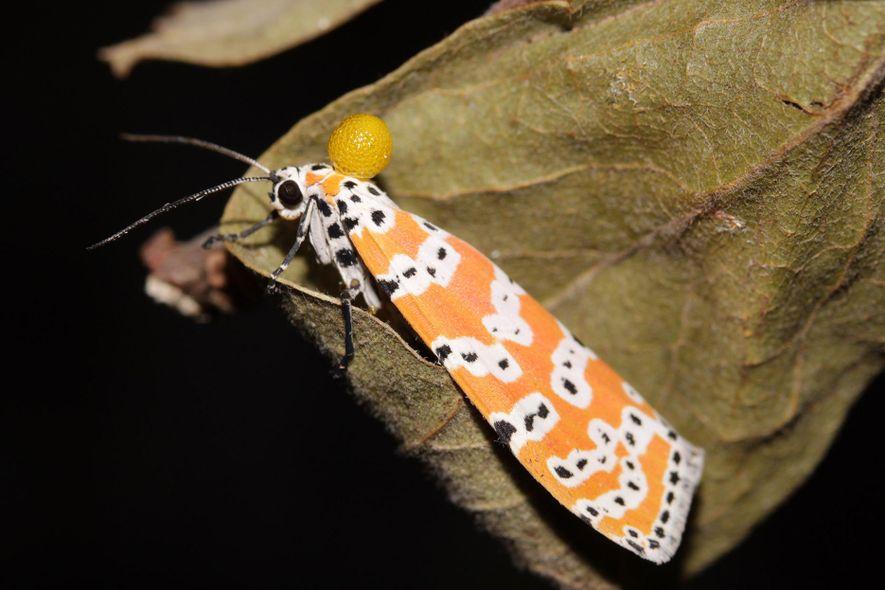 Le papillon nocturne offre à sa femelle un cadeau toxique.