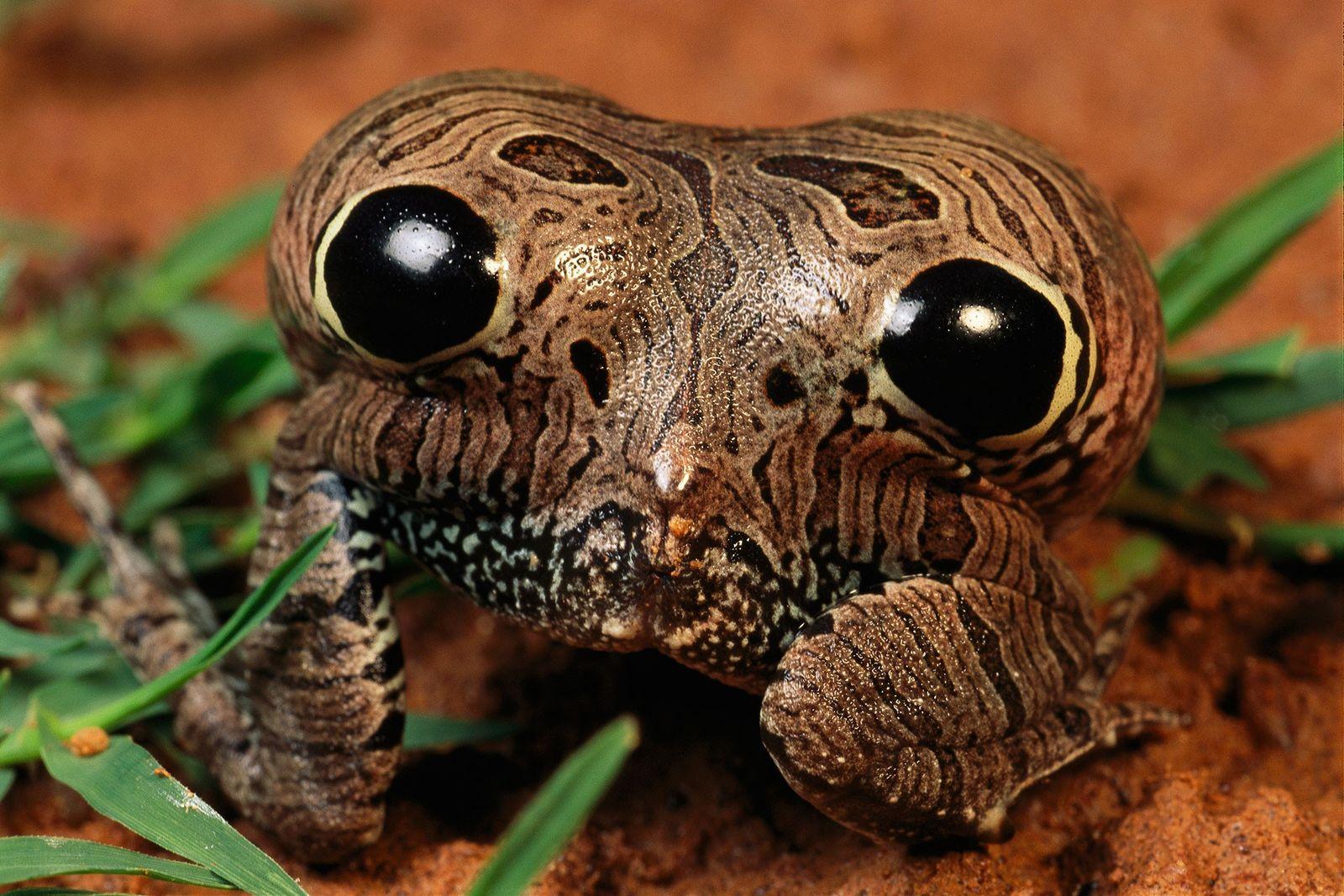 Le postérieur de cette grenouille est vénéneux... et gonflable