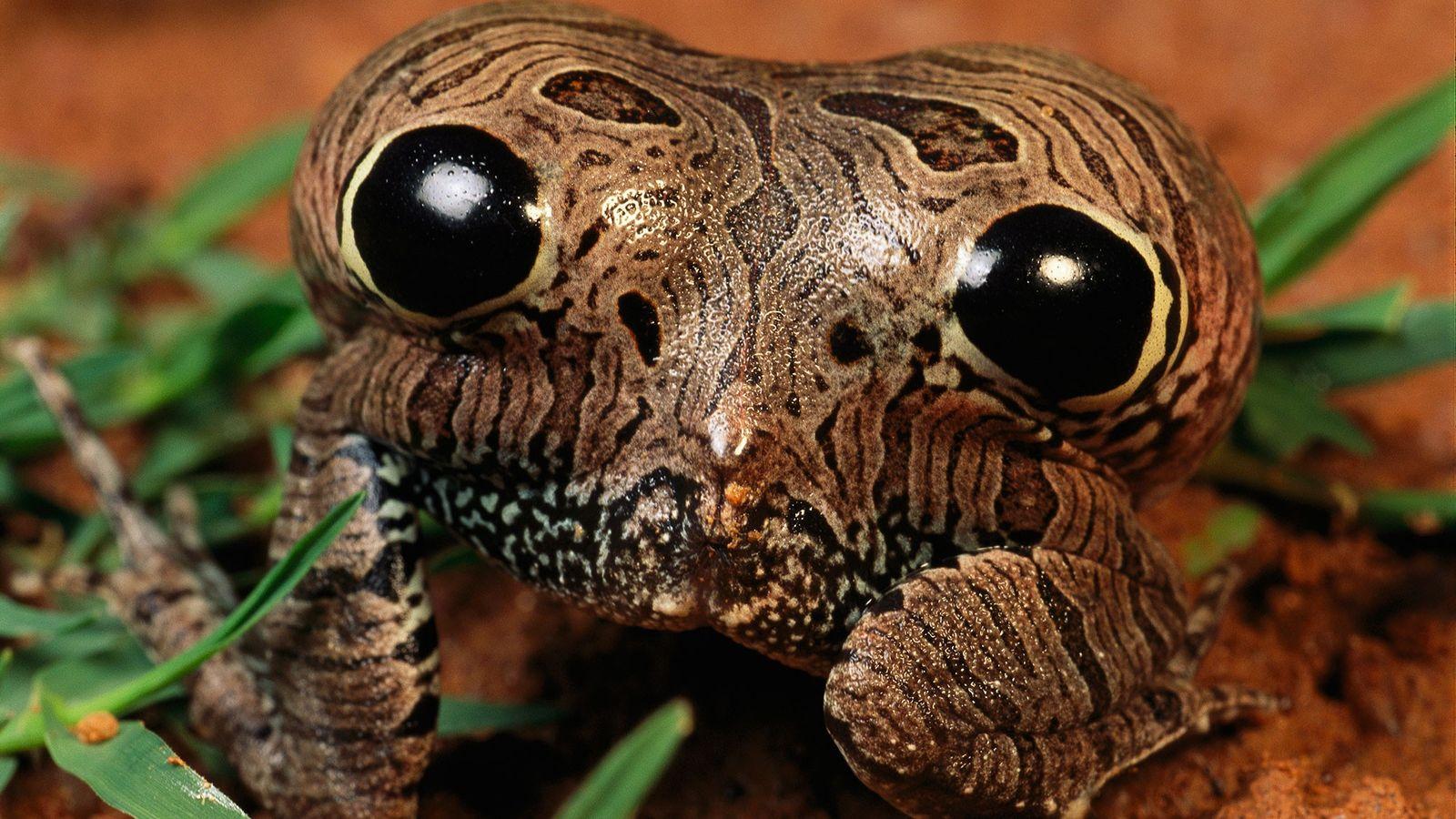 La grenouille naine de Cubaya gonfle son postérieur doté de faux yeux pour effrayer les prédateurs.
