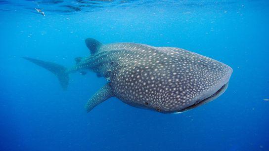 Un requin baleine nage au large de la péninsule du Yucatán. Ces géants des mers peuvent ...