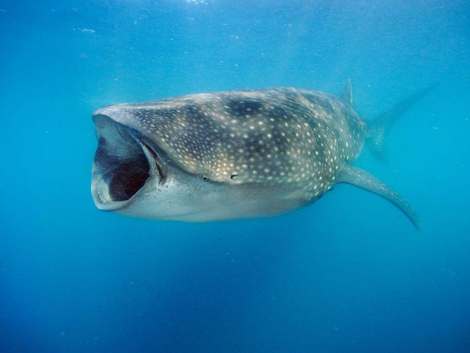 Contre toute attente, les requins-baleines seraient omnivores