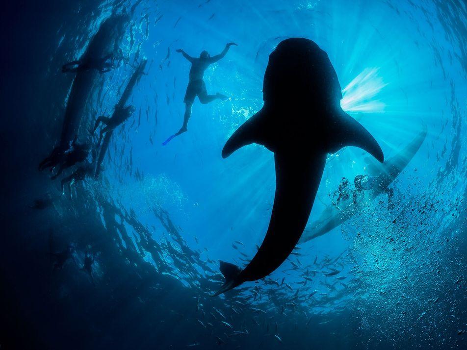 Comment les requins-baleines sont-ils devenus l'attraction préférée des touristes ?