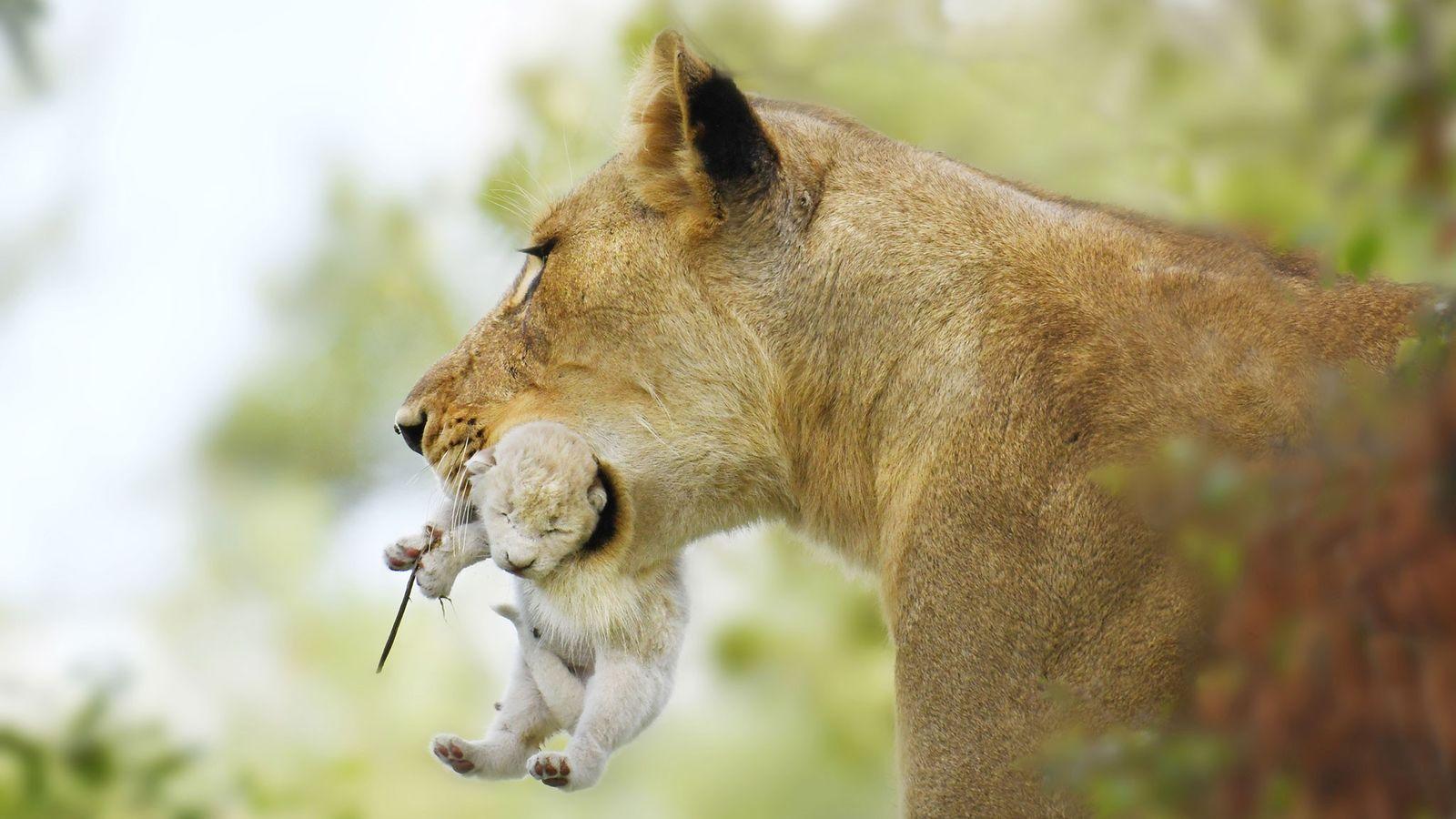 Des guides d'une réserve naturelle située en Afrique du Sud ont pu observer ce lionceau blanc ...