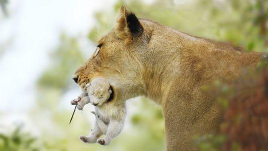 Un lionceau blanc a été observé en Afrique du Sud