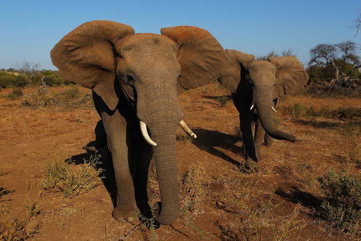 La Chine est l'un des plus grands consommateurs d'ivoire au monde. Fin 2017, le pays a ...
