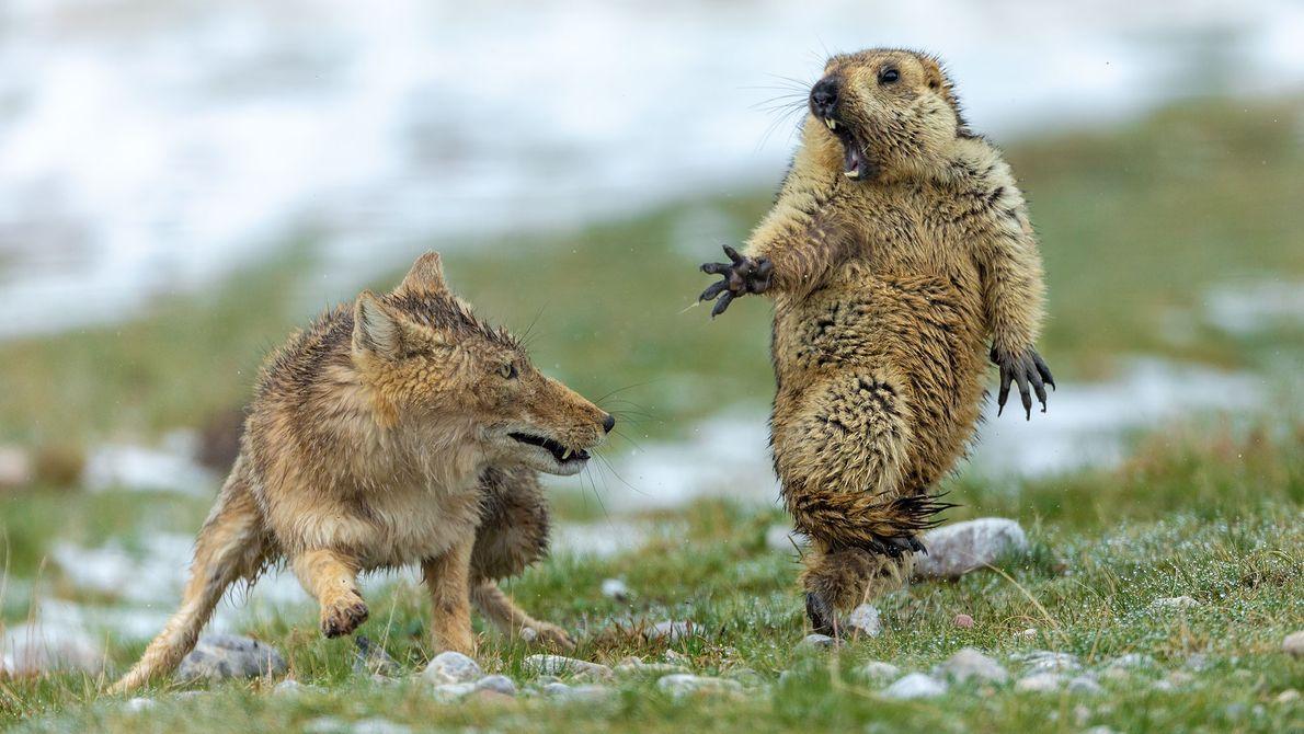 Cette image rare d'un renard tibétain et d'une marmotte prise au moment précédant l'attaque a valu ...