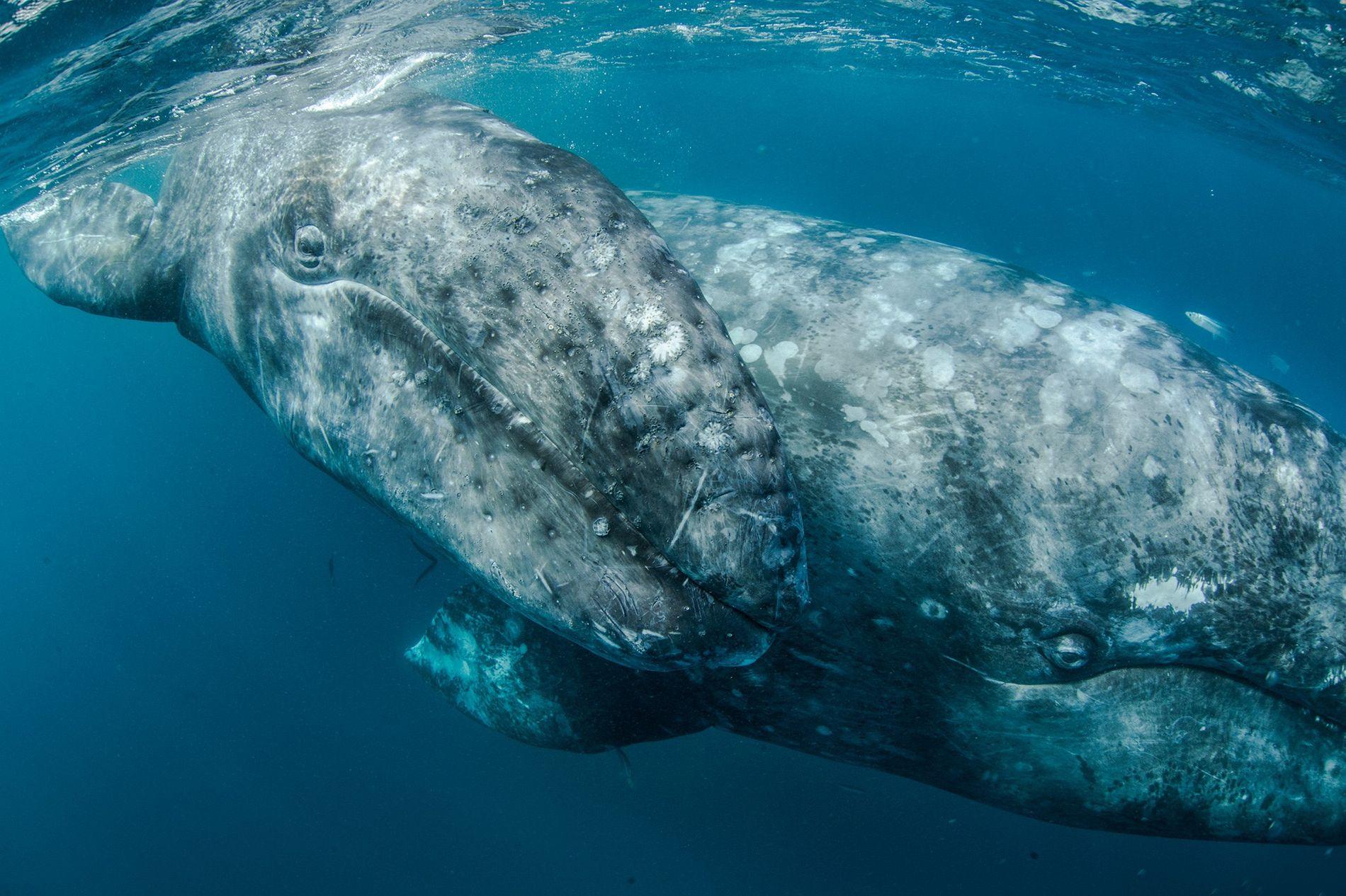 Grâce à des dizaines d'années de protection, les baleines grises, traditionnellement tuées pour leur viande, leur lard et leur huile, voient leur population augmenter.