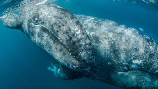 Grâce à des dizaines d'années de protection, les baleines grises, traditionnellement tuées pour leur viande, leur ...