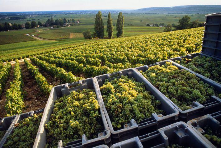 En Bourgogne, les vignes de chardonnay sont vendangées avec plusieurs semaines d'avance par rapport à quelques ...