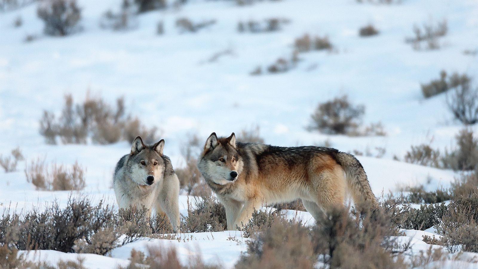 Deux loups gris traversent les terres enneigées du parc national de Yellowstone. Cette espèce a été ...