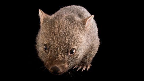 Un jeune wombat commun (Vombatus ursinus tasmaniensus) du sanctuaire de Healesville. Les excréments de ces animaux ...