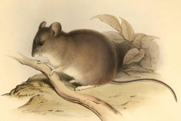 L'aire de répartition de la souris à oreilles jaunes couvre un dénivelé de 6 700 m, ...