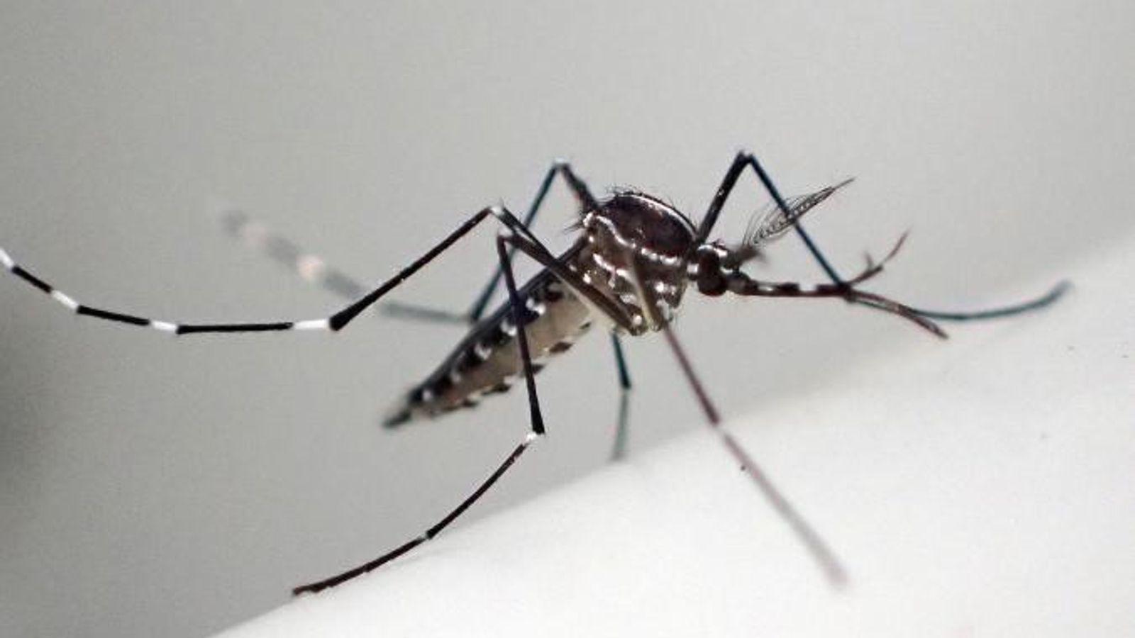 Un moustique tigre - détail.