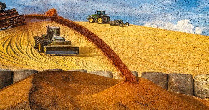 Des tracteurs déchargent leur énorme cargaison de maïs dans un parc d'engraissement près d'Imperial, dans le ...