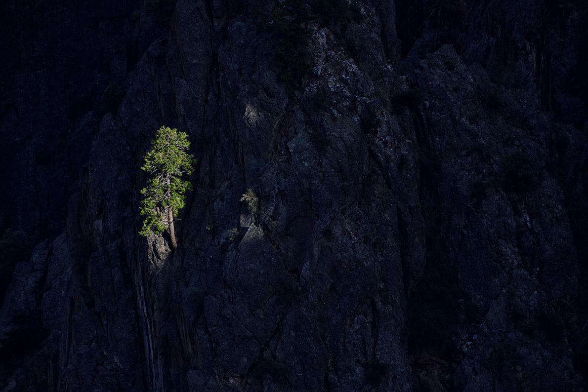 Les genévriers sont parfaitement adaptés aux conditions rocheuses et difficiles du Black Canyon. Ces arbres noueux, ...
