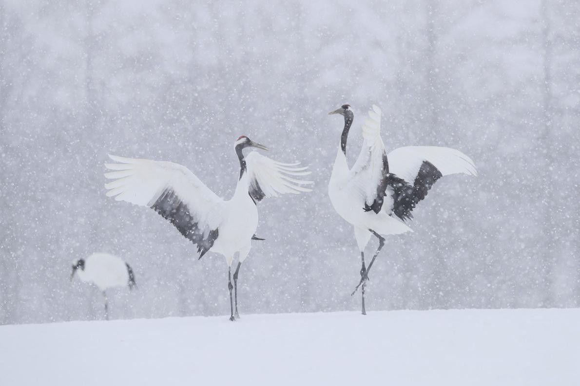 « Deux grues font leur parade nuptiale sous la neige. » – Hiroto Fukuda