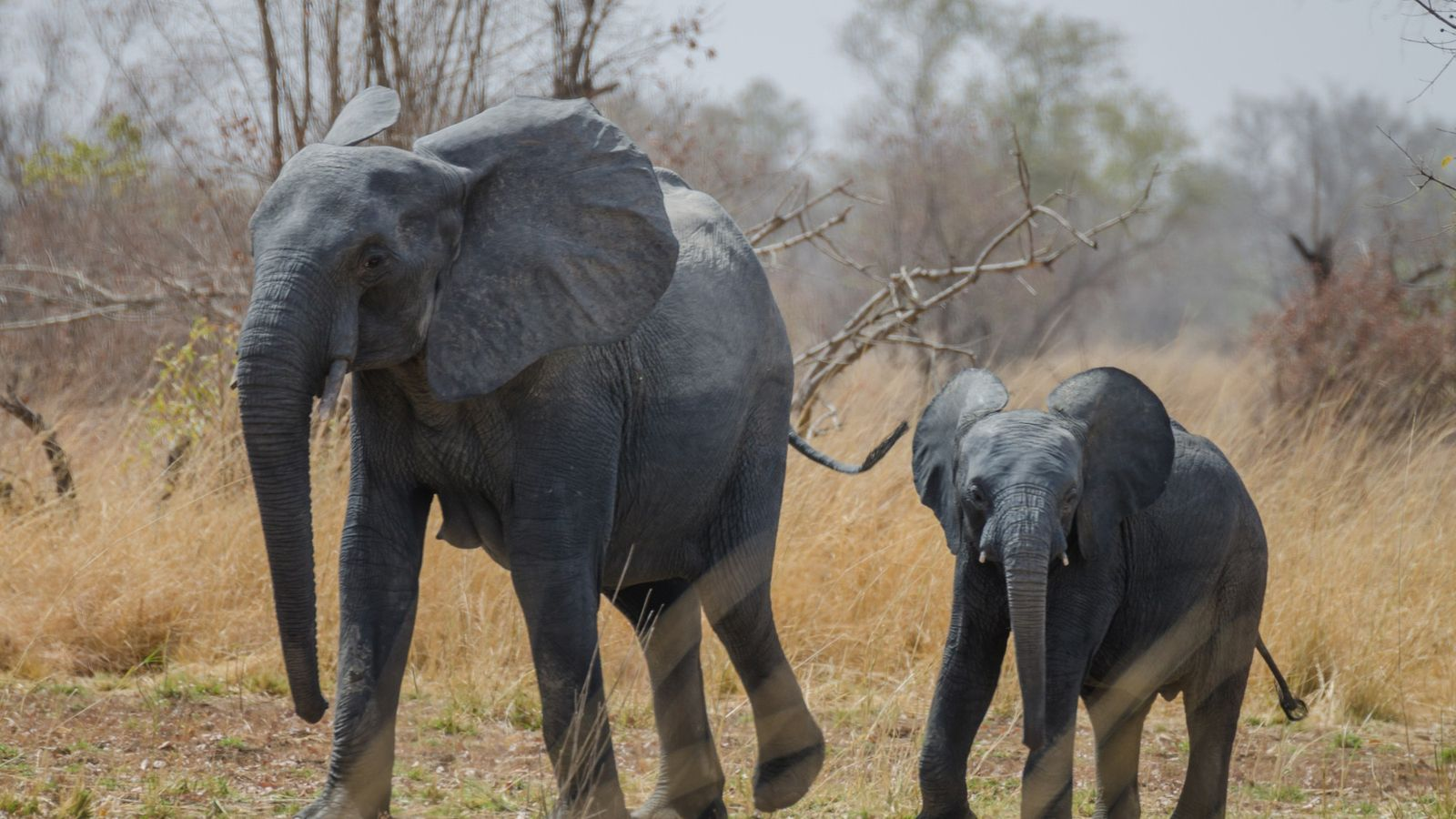 Un éléphanteau d'Afrique se promène aux côtés de sa mère dans le parc national de la ...