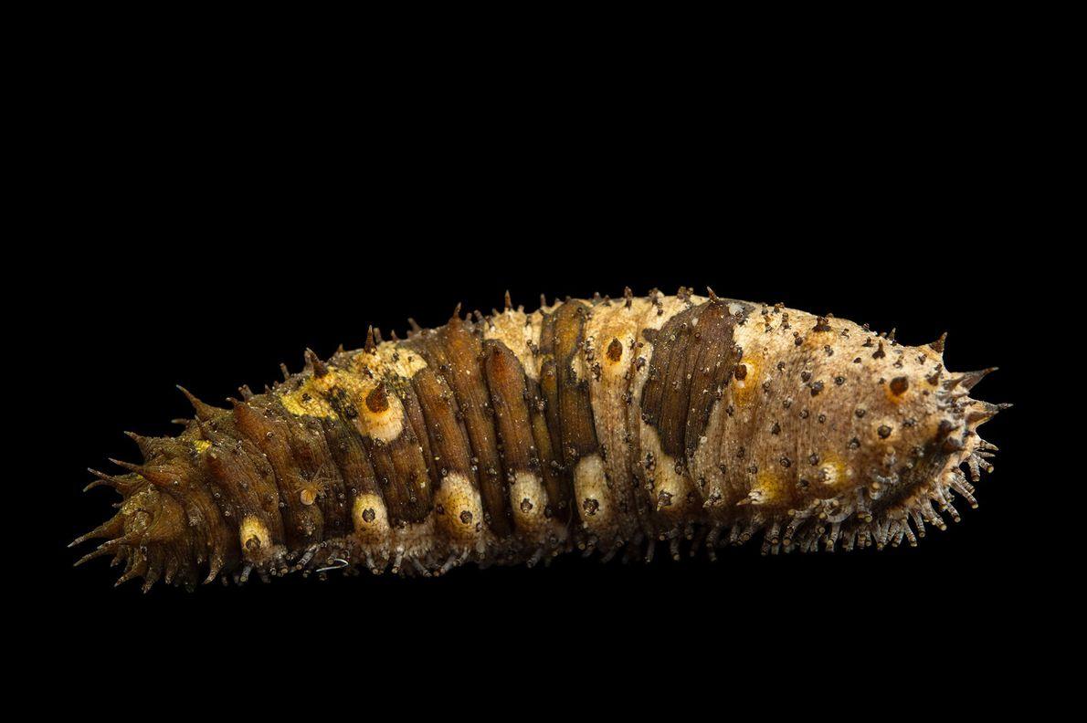 Un concombre de mer photographié à l'Aquarium Loveland Living Planet de Draper, dans l'Utah, États-Unis.