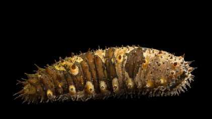 Les concombres de mer, étonnants habitants des fonds marins