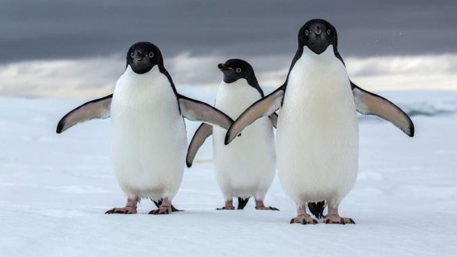 Les manchots Adélie, l'une des deux espèces de manchots de l'Antarctique, sont menacés par le changement ...