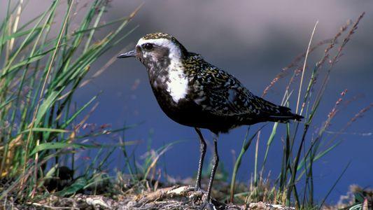 Le taux de mortalité de nombreuses espèces augmente en Alaska