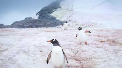 De mystérieux microbes teintent le Groenland de rose, accélérant la fonte des glaces