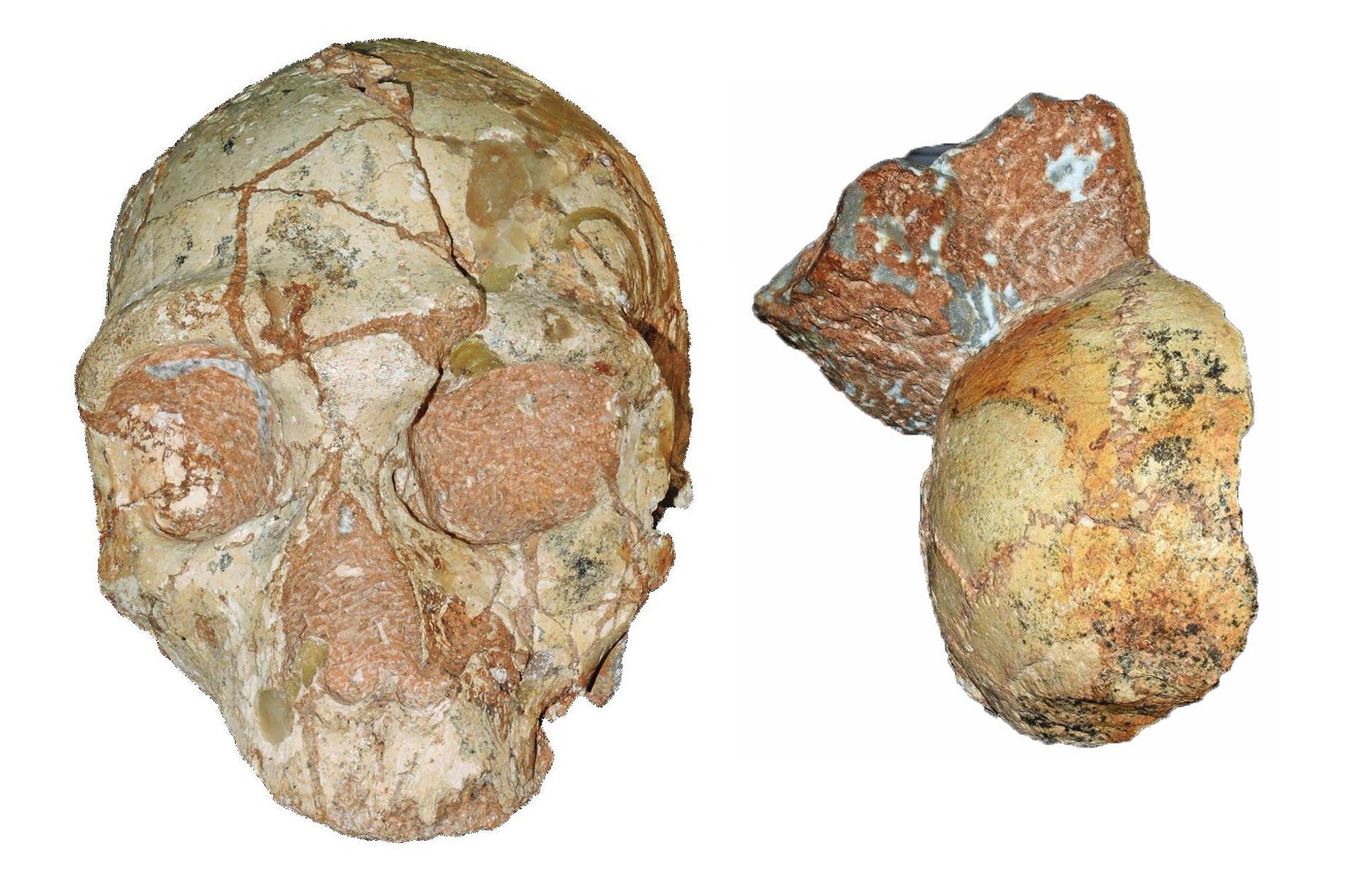 Ces fossiles fragmentés découverts à quelques centimètres l'un de l'autre pourraient être les crânes de deux ...