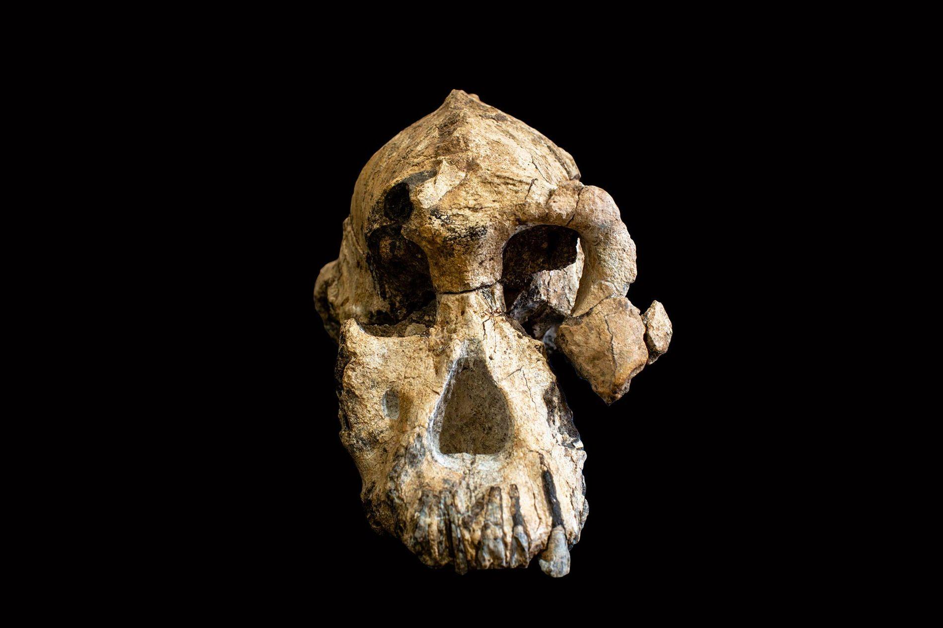Officiellement nommé MRD-VP-1/1, ce nouveau crâne appartient à un ancien ancêtre humain appelé Australopithecus anamensis.