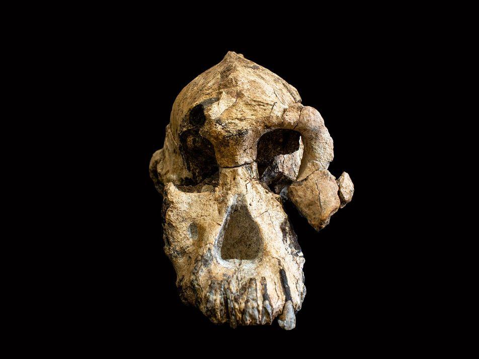 Éthiopie : découverte du plus vieux crâne d'australopithèque jamais mis au jour