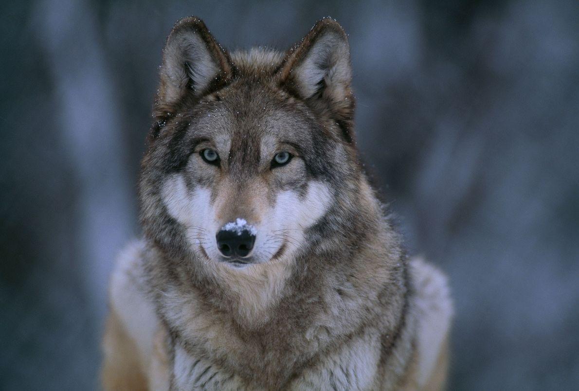 01_booktalk_wolves