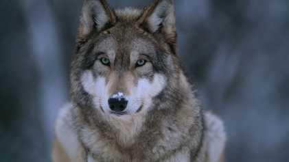 Pourquoi la protection des loups fait débat
