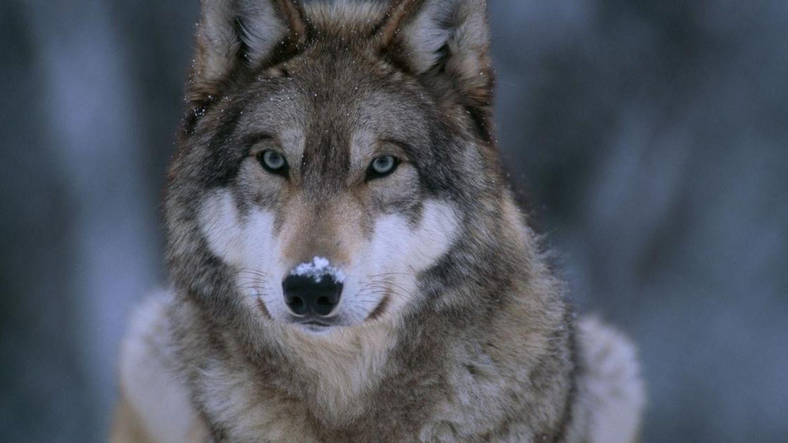 Un loup gris (Canis lupus) photographié dans la neige.