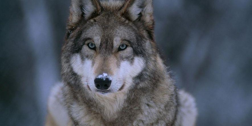 France : le nombre de loups augmente de façon exponentielle