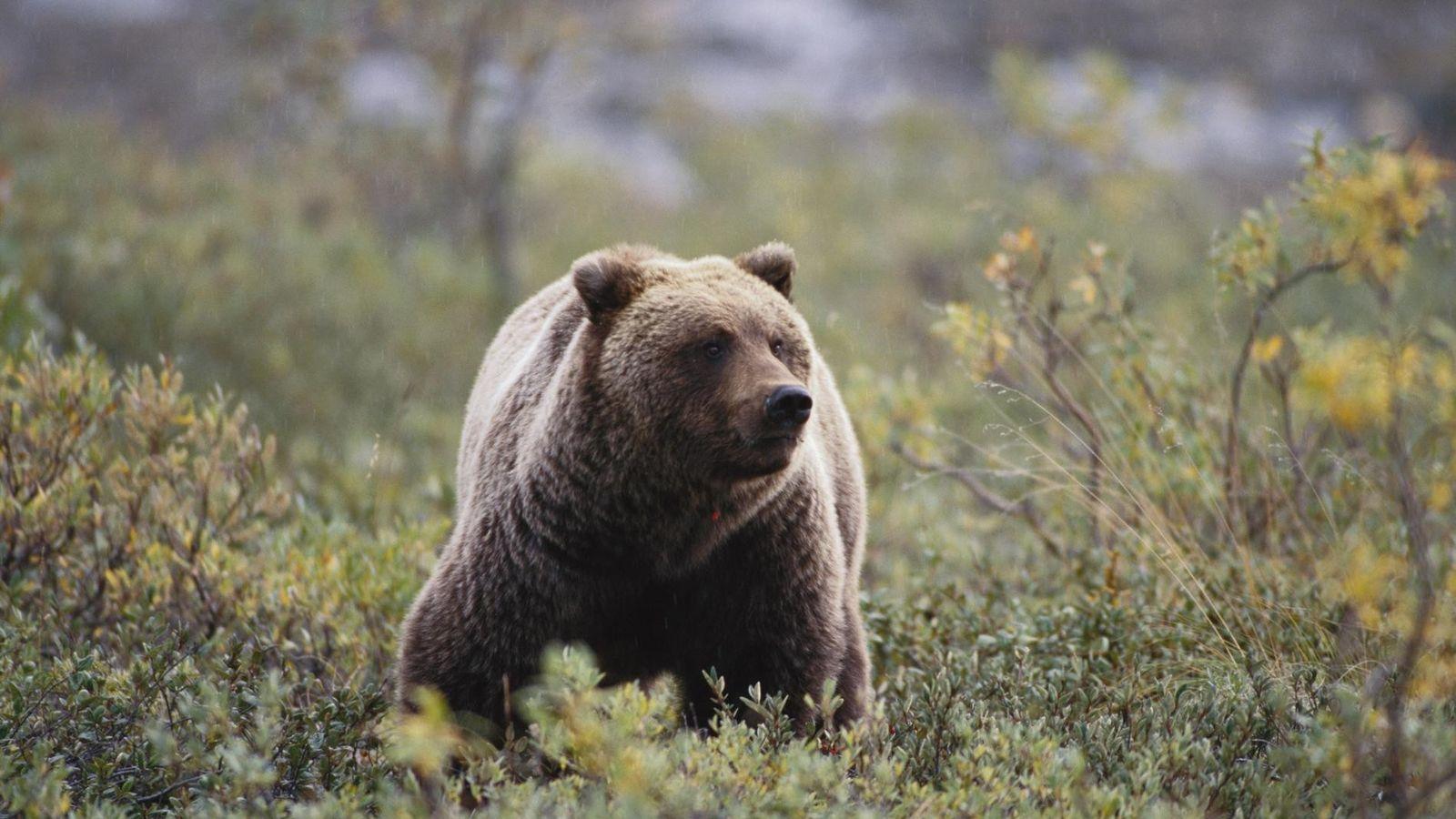 Ce grizzli, également connu sous le nom d'ours brun d'Amérique du Nord, détecte la nourriture ou ...