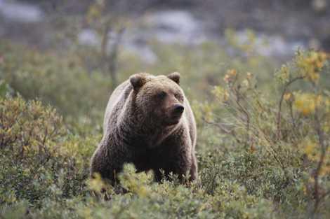 Aujourd'hui disparus, les ours des cavernes se seraient reproduits avec les ours bruns