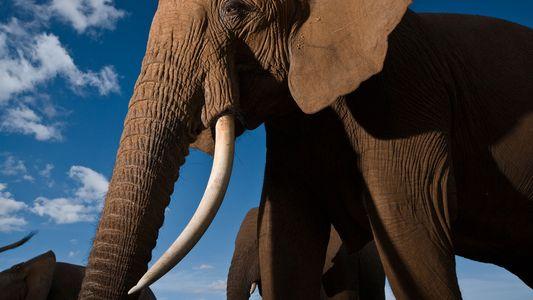 Le plus grand marché d'ivoire au monde est sur le point de fermer
