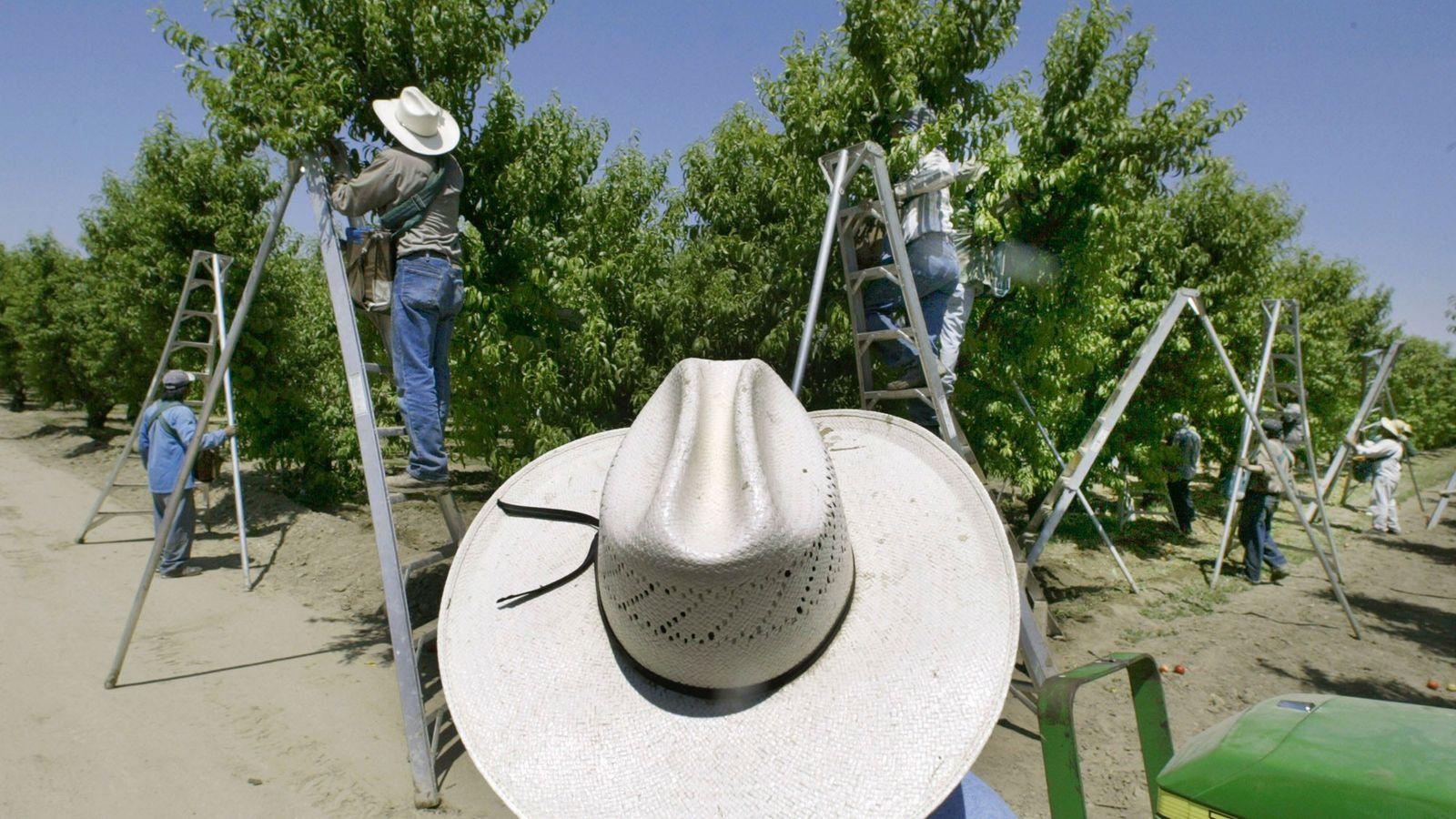 Un contremaître regarde les travailleurs saisonniers cueillir des fruits dans un verger à Arvin, en Californie, ...