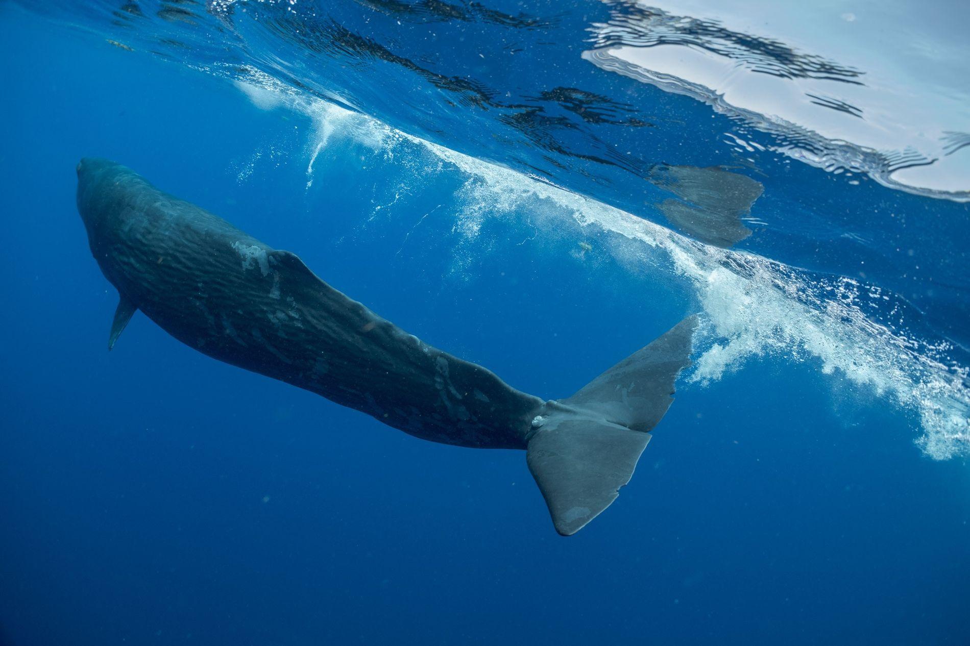 Digit, un jeune grand cachalot femelle nageant ici au large de la Dominique dans la mer ...