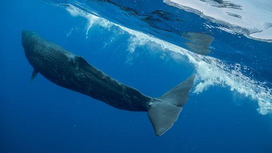 Ce grand cachalot a passé trois ans la queue empêtrée dans du matériel de pêche