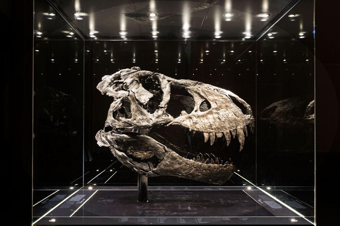 Ce crâne quasi-complet teinté de noir appartient au spécimen de Tyrannosaurus rex le plus complet actuellement ...