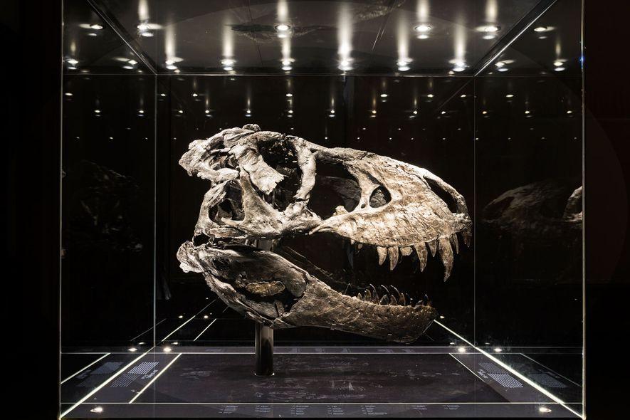 Ce crâne quasi-complet teinté de noir appartient au spécimen de Tyrannosaurus rex le plus complet actuellement …
